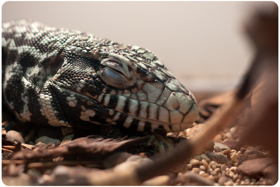 Argentine Black and White Tegu by OrangeRoom