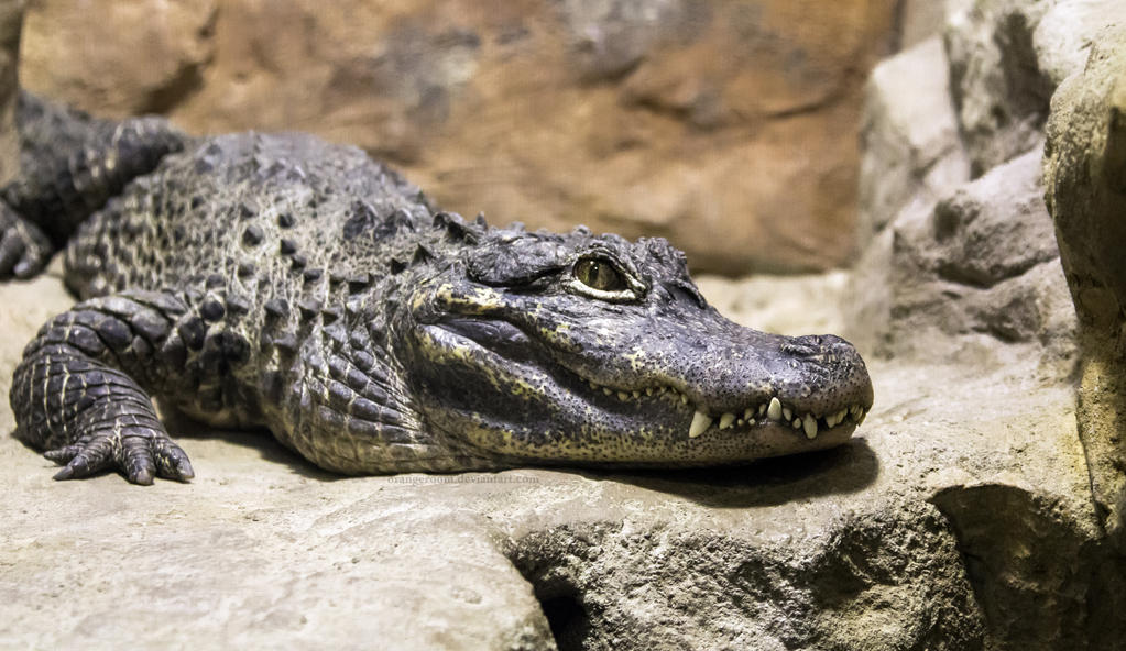 alligator chat rooms Come to our club and see how many girls and women are waiting for chat with you in alligator pond chat rooms those are real alligator pond chat with alligator.