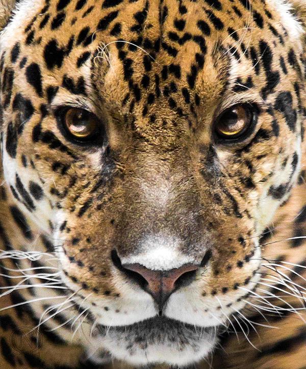 In Jaguar Eyes By OrangeRoom On DeviantArt