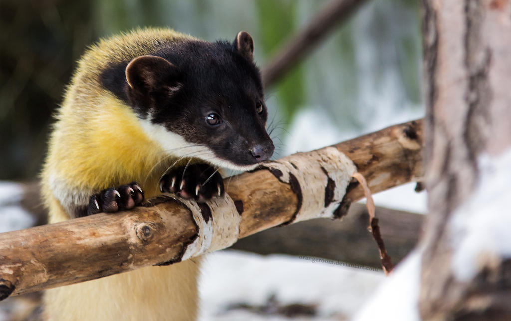 ¿Formas auxiliares? Yellow_throated_marten_iii_by_orangeroom-d5v9gn3