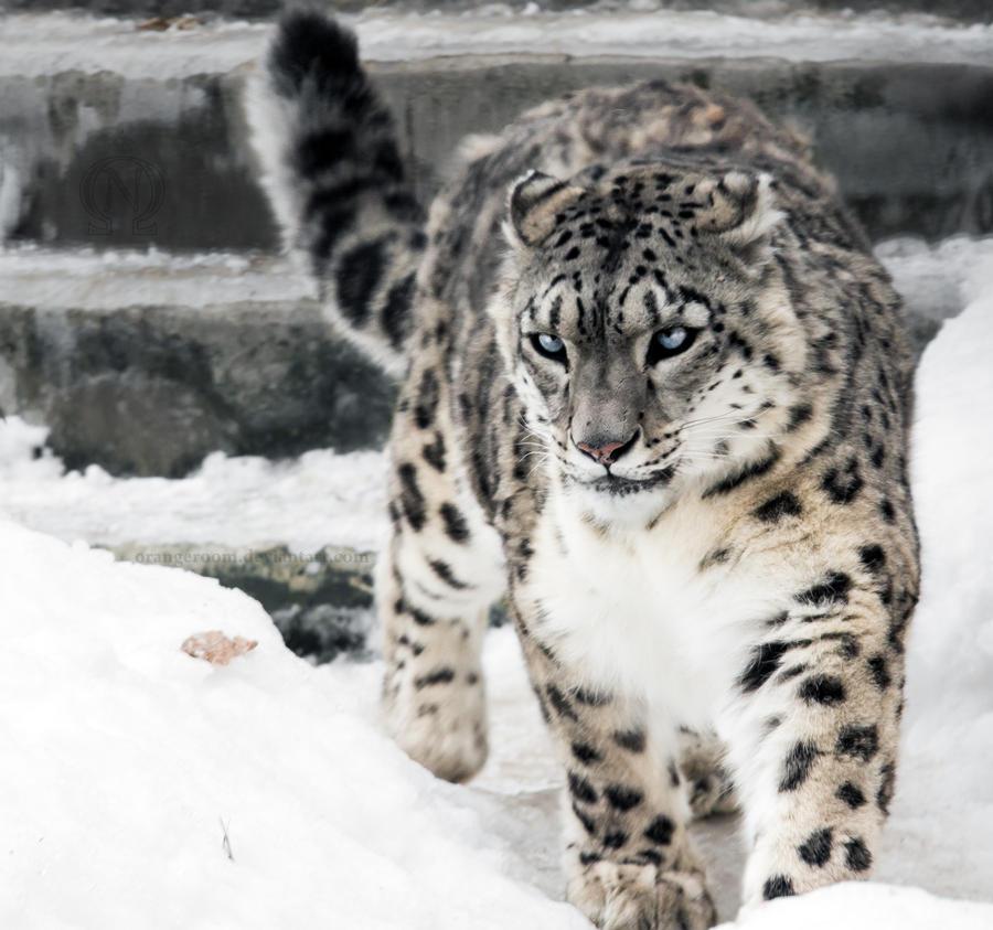 Snow Leopard VII by OrangeRoom