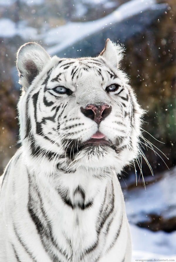 White Tigress Winter Portrait I by OrangeRoom
