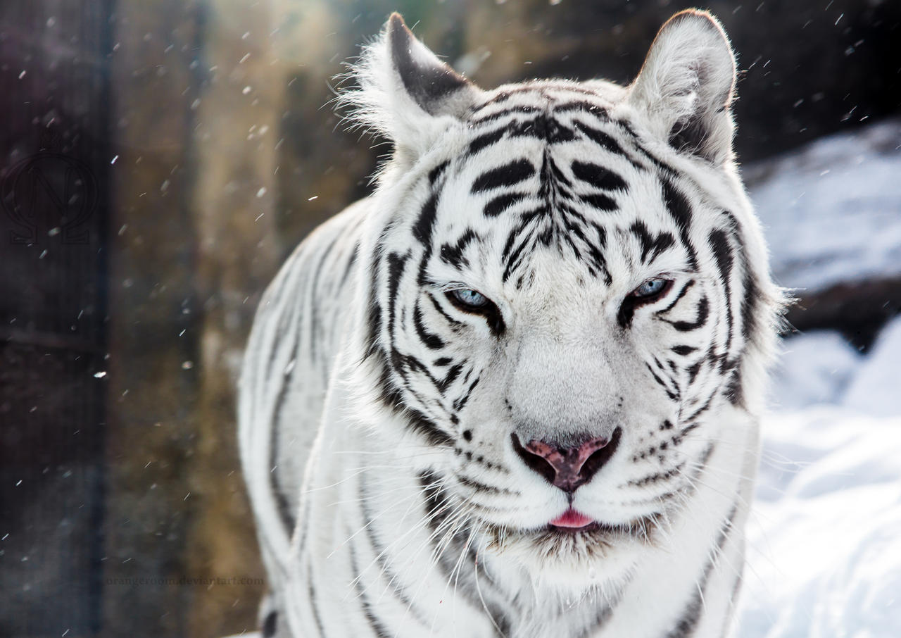 White Tigress Winter Portrait II by OrangeRoom
