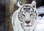 White Tigress Winter Portrait II