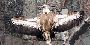 Behold Griffon Vulture!