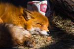 Little Vixen Sweet Nap Portrait