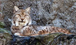 Bobcat II