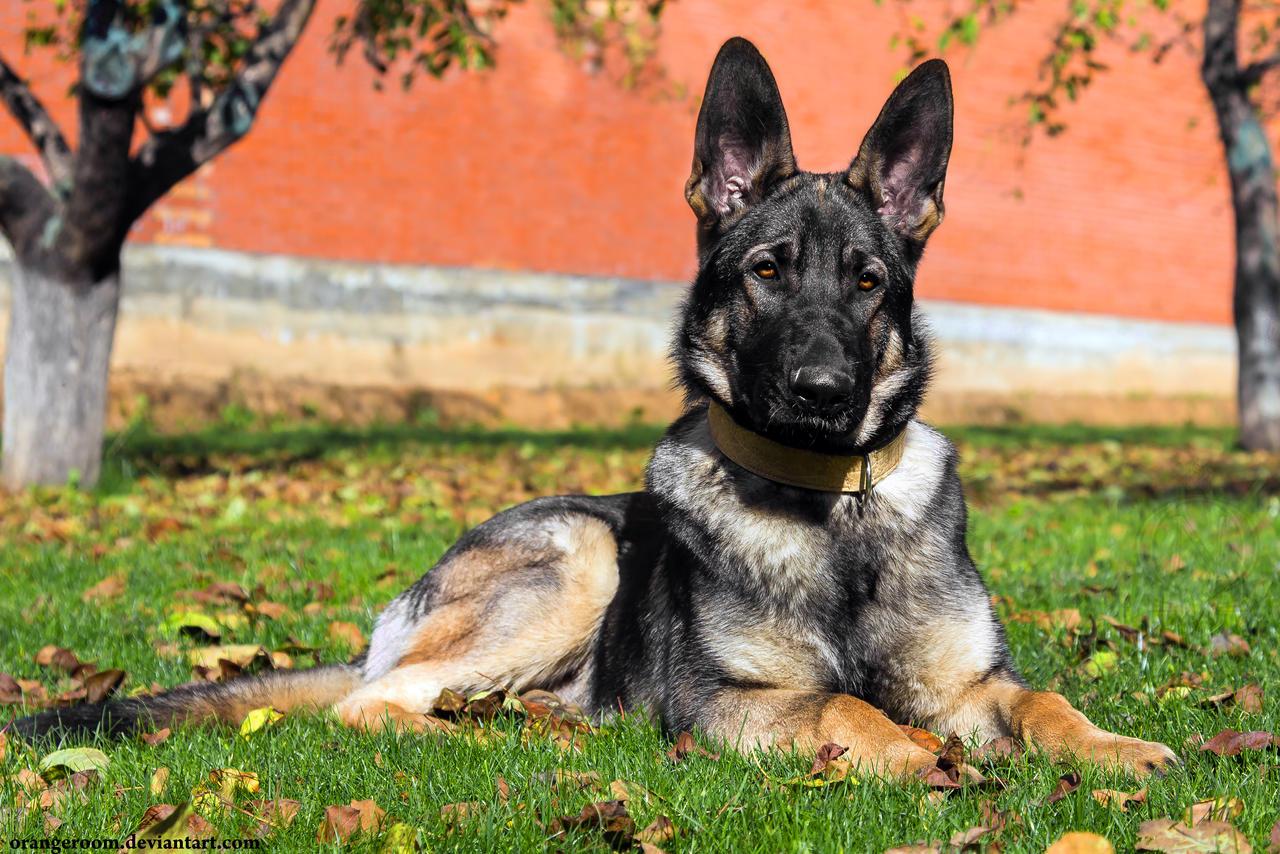 German Shepherd Long Coat Dog Sale