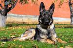 German Shepherd Portrait I