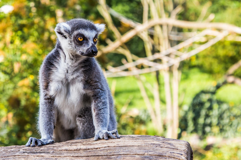 PZ Ring-Tailed Lemur Portrait 2 by OrangeRoom