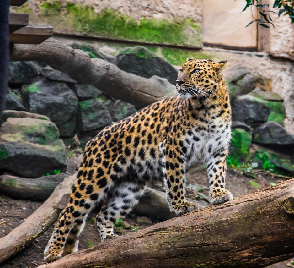 PZ Amur Leopard Portrait by OrangeRoom