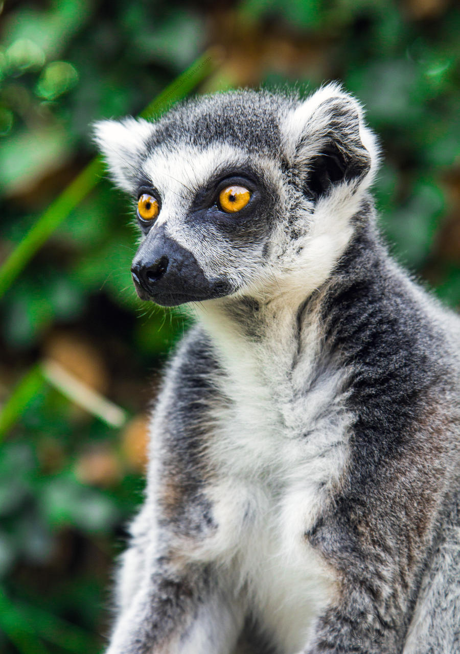 PZ Ring-Tailed Lemur Close-up Portrait by OrangeRoom
