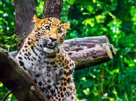 PZ Amur Leopard  Cub Close-up Portrait by OrangeRoom