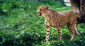 Cheetah on walk