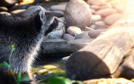 Raccoon Dream