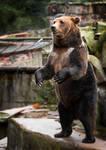 Female Bear Beggar by OrangeRoom