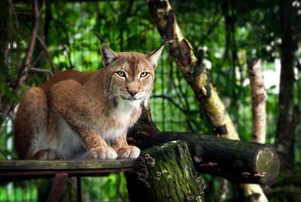 Pleased European Lynx by OrangeRoom