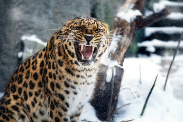 MZ Angry Amur Leopard
