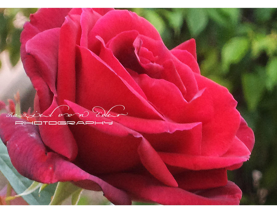 Red rose by RazielMB-PhotoArt