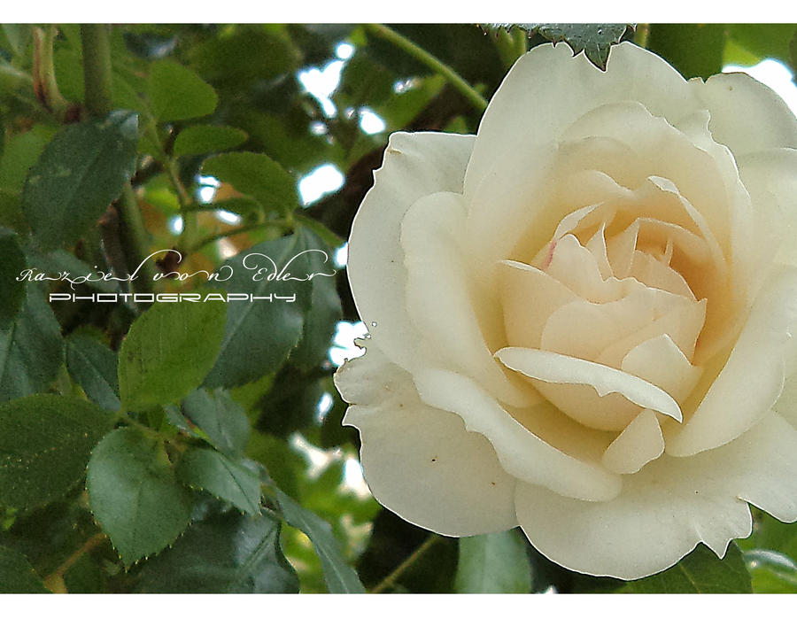 Secret Rose II by RazielMB-PhotoArt