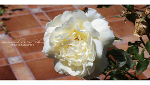 White yellow Rose