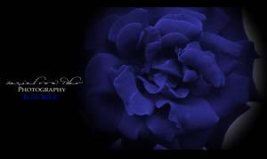 Blue Rose by Ellysiumn-GvE