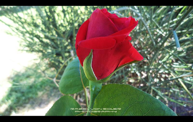 Beautiful Rose by RazielMB-PhotoArt