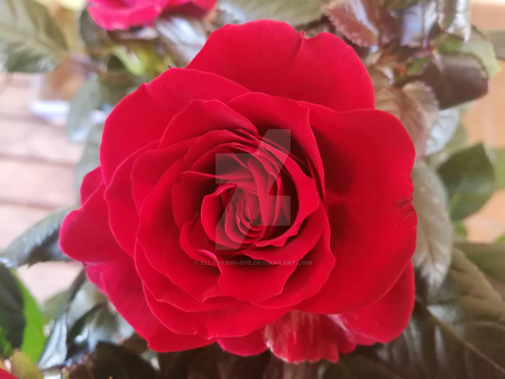 Red rose by Ellysiumn-GvE