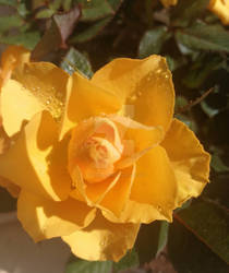 Yellow rose by Ellysiumn-GvE