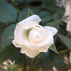 White rose by Ellysiumn-GvE