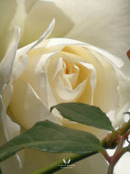 White purity ~ Rose