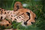 Cheetah Chillaxing