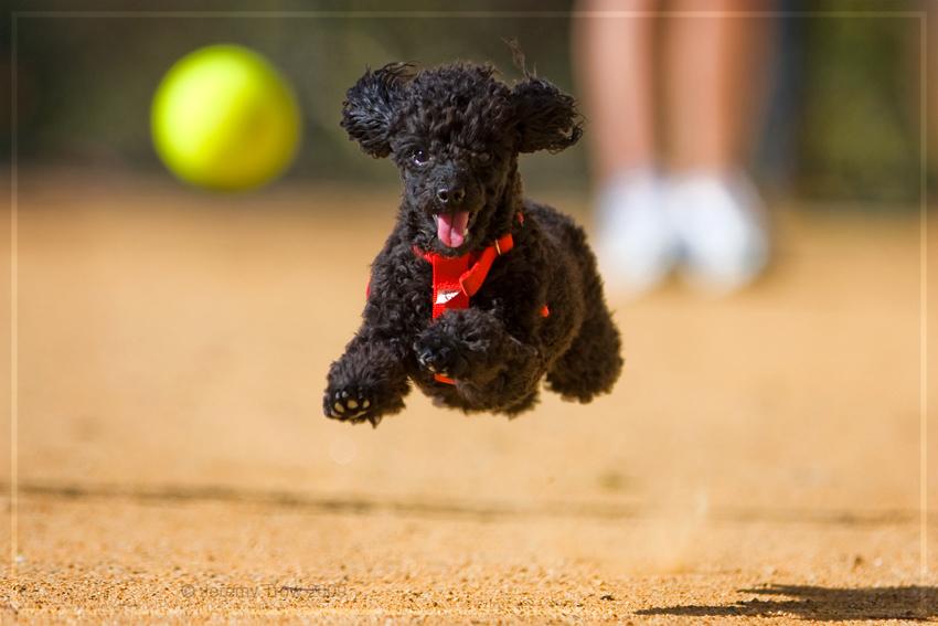 Super-Poodle by Jer-Trow on DeviantArt