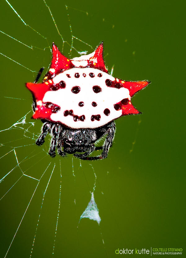 peacock spider wallpaper