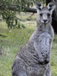 Curious Kangaroo