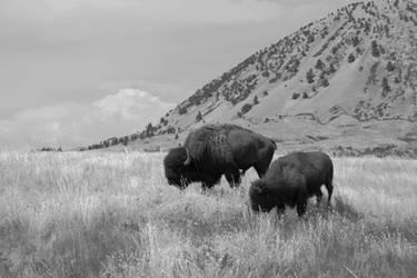 Buffalo by MiakadoArts