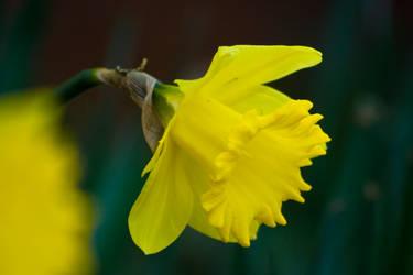 Daffodil I by MiakadoArts