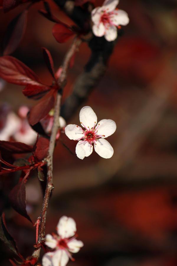 Pink Blossoms by AstNav