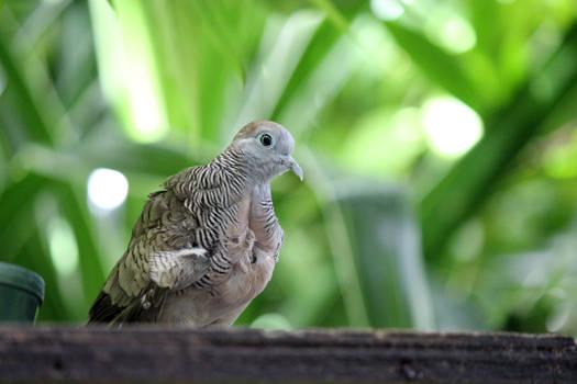 Zoo dove