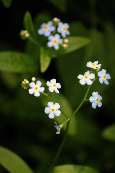 Forget Me Not ~