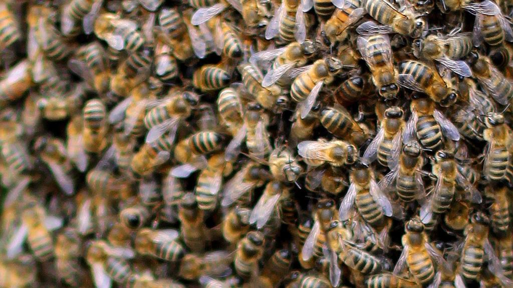 Wild Honey Bee Swarm by S4MMY4RT