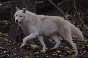 White Wolf 3 by fallen-cherubim