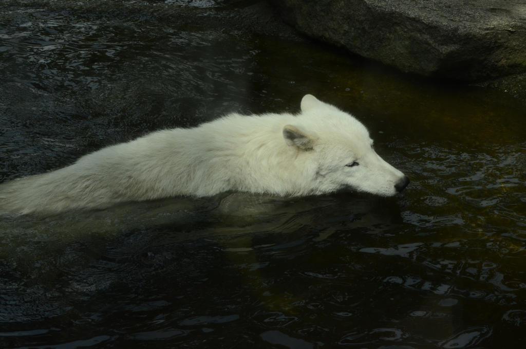 White Wolf 16 by fallen-cherubim