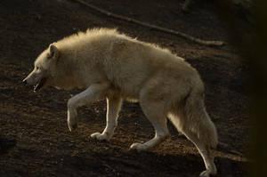 White Wolf 43 by fallen-cherubim