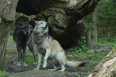 Grey Wolf 82