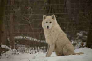 White Wolf 155 by fallen-cherubim