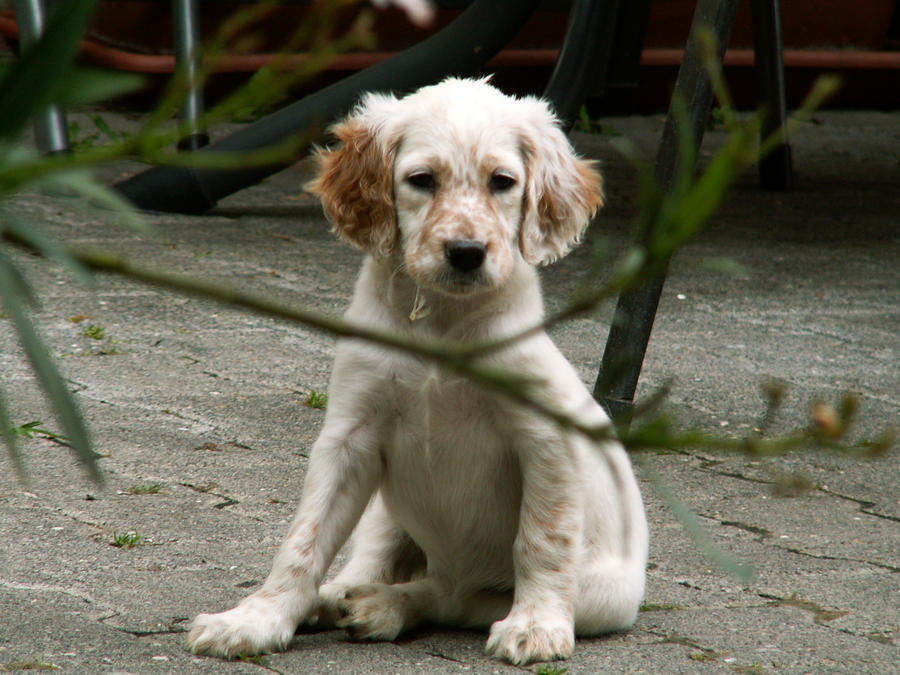 English Setter Puppy by greedy-peri on DeviantArt