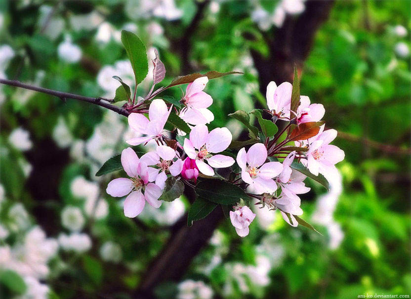 Cherry blossom by Ani-ko