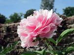 Pink Peony from below