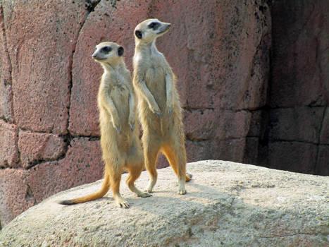 Meerkat Sentinel Duo